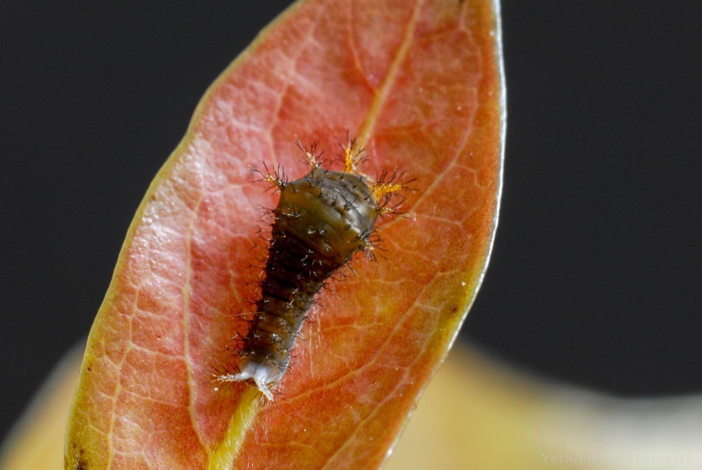 アオスジアゲハ幼虫1齢