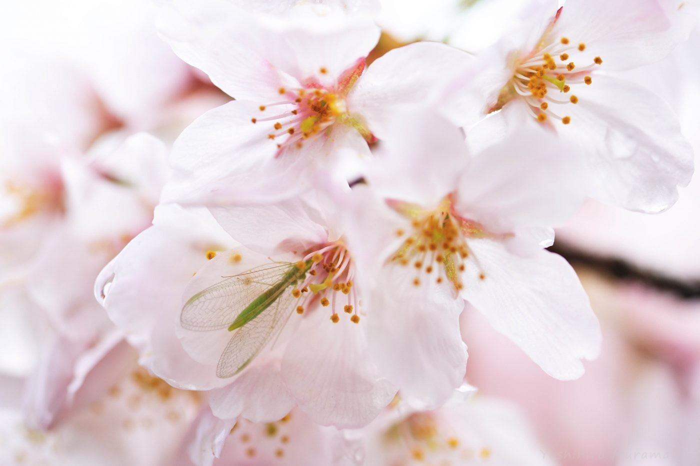 桜カゲロウの一種