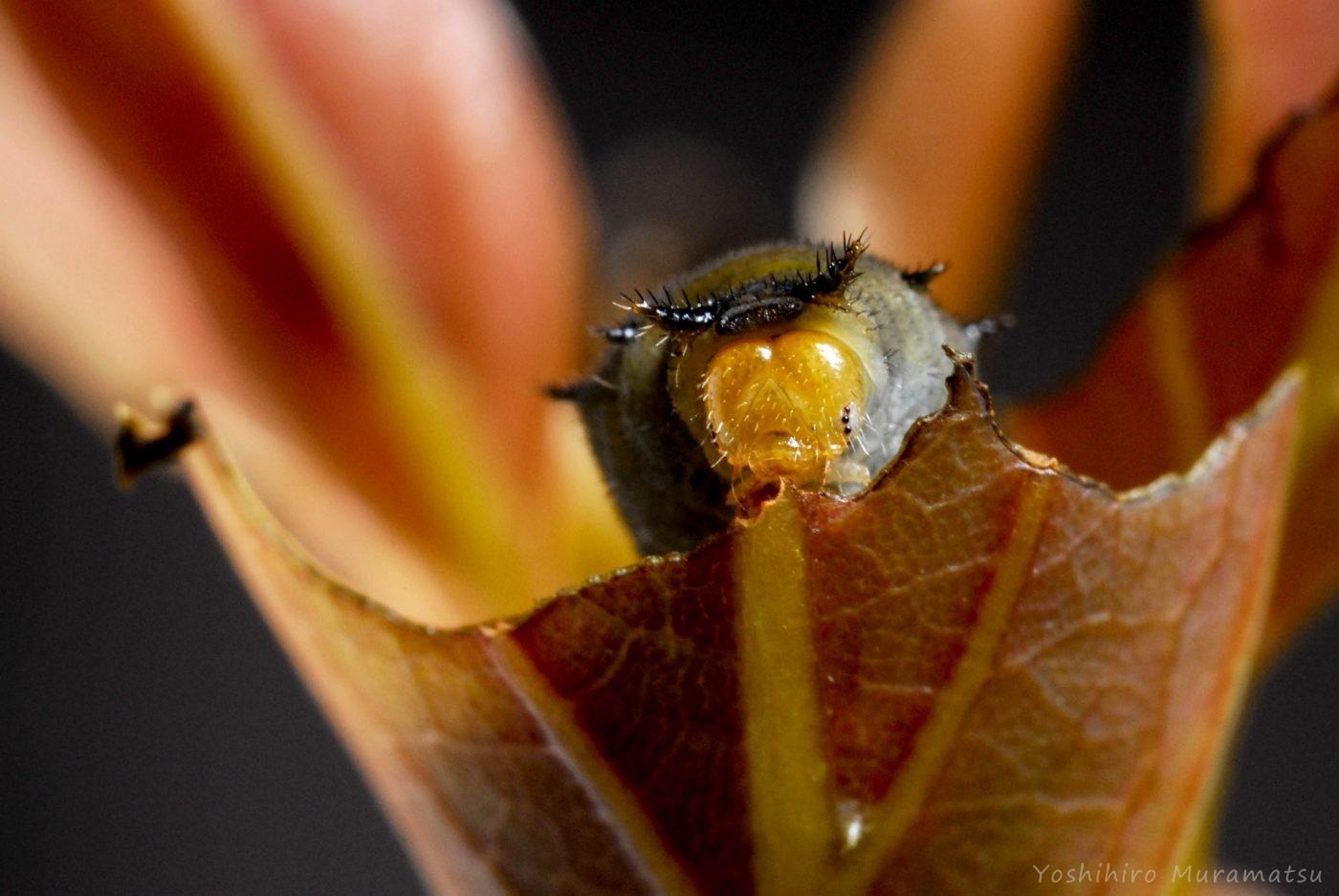 アオスジアゲハ2齢幼虫