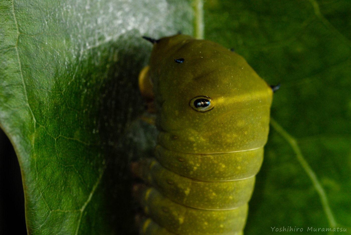 アオスジアゲハ4齢幼虫