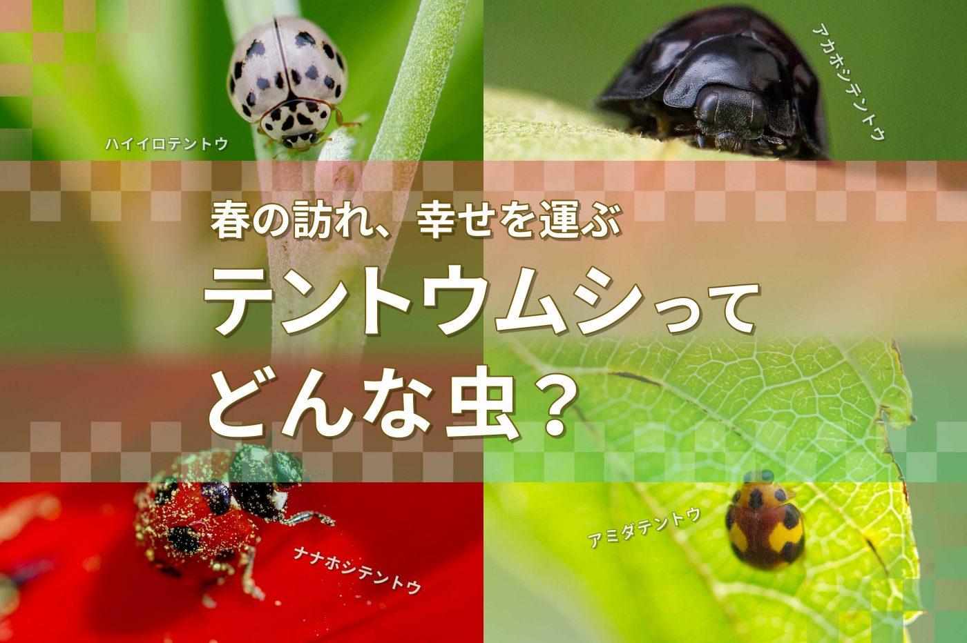 てんとう 虫 の お告げ テントウムシ図鑑