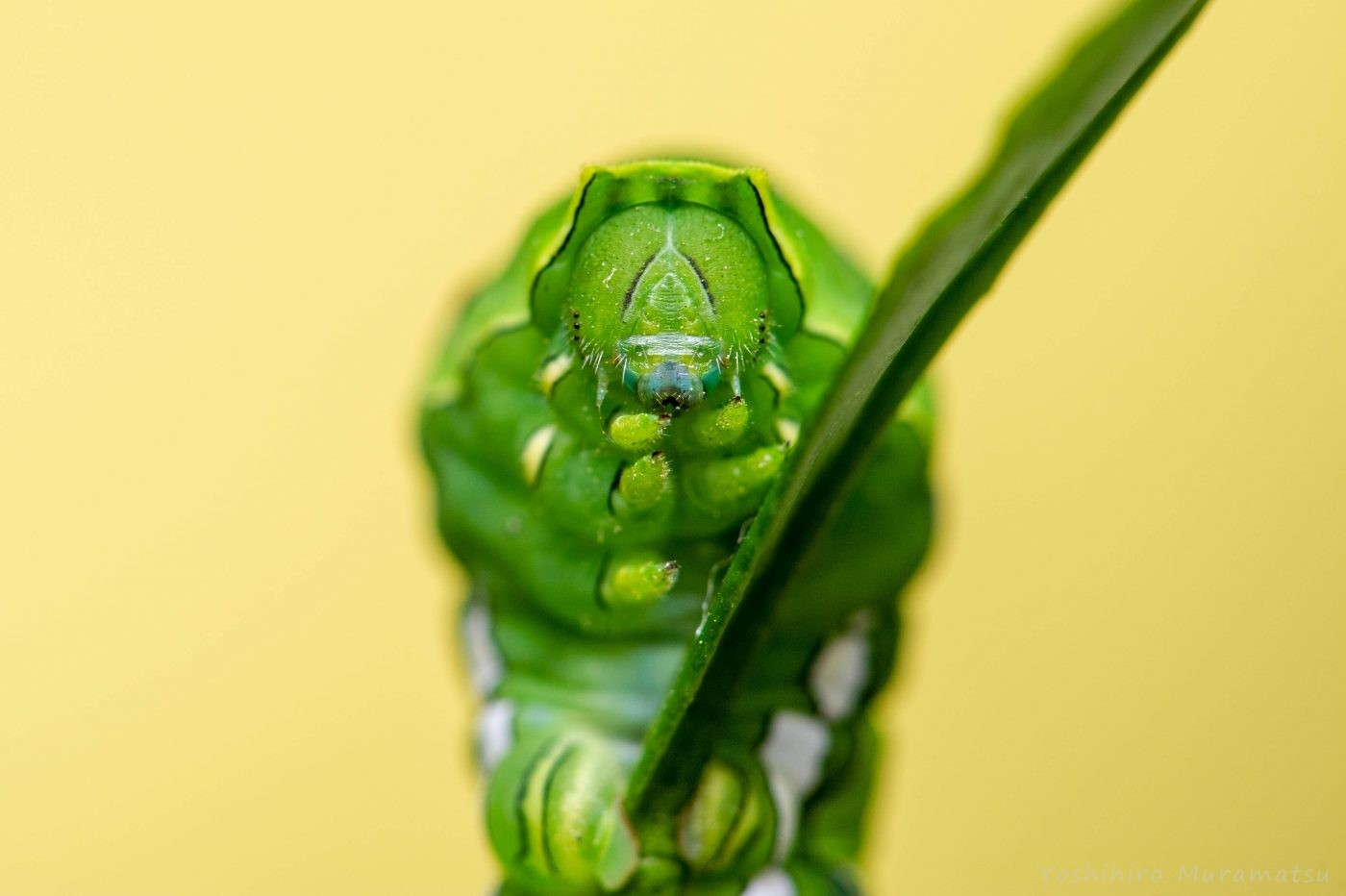 アゲハチョウの幼虫