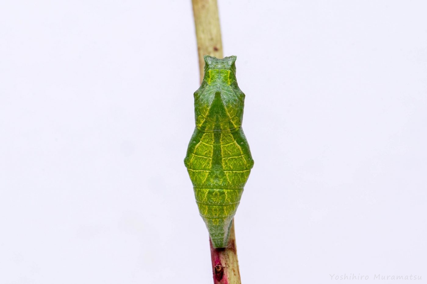 アゲハチョウのサナギ