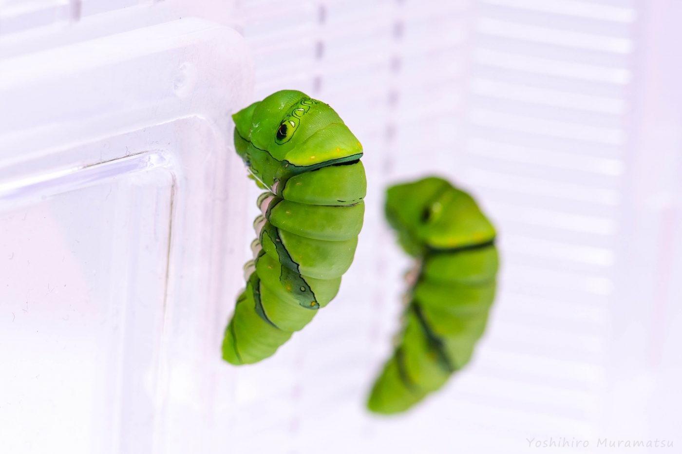 アゲハチョウの前蛹
