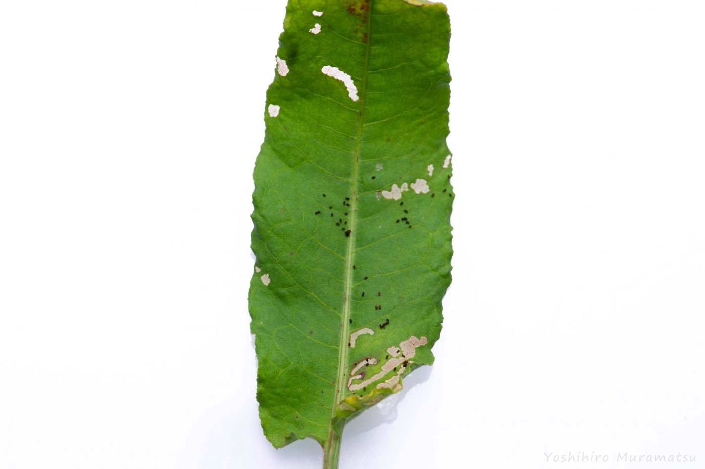 ベニシジミの幼虫