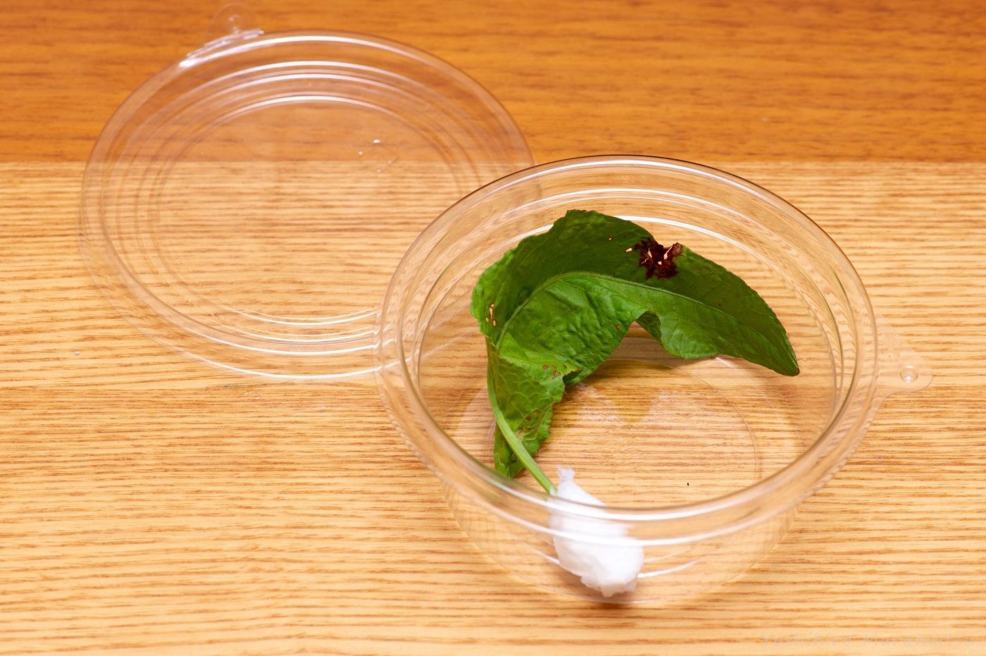 ベニシジミの幼虫 ケース