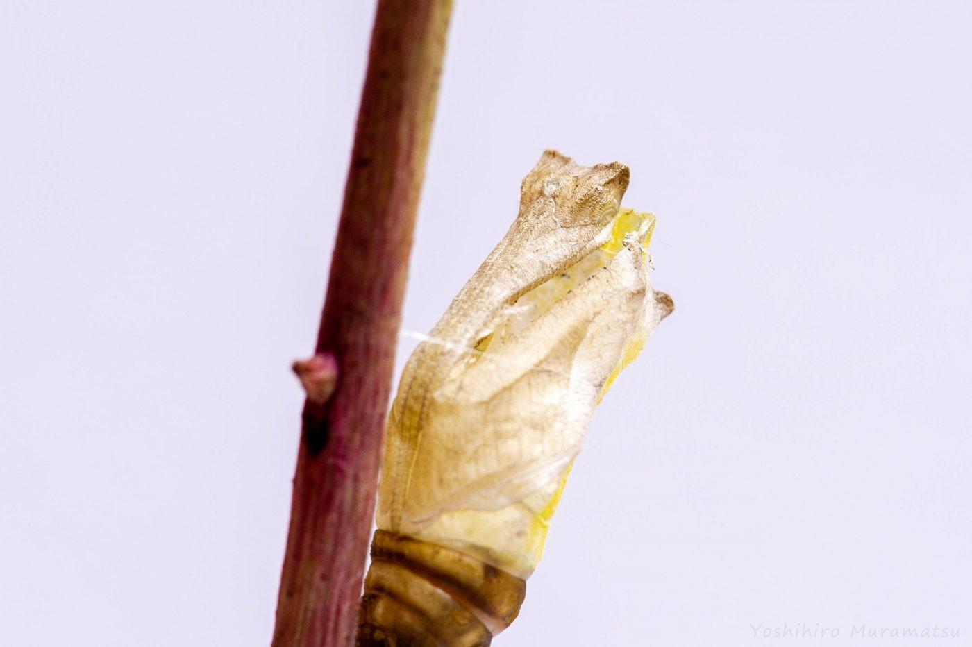アゲハチョウのサナギの抜け殻