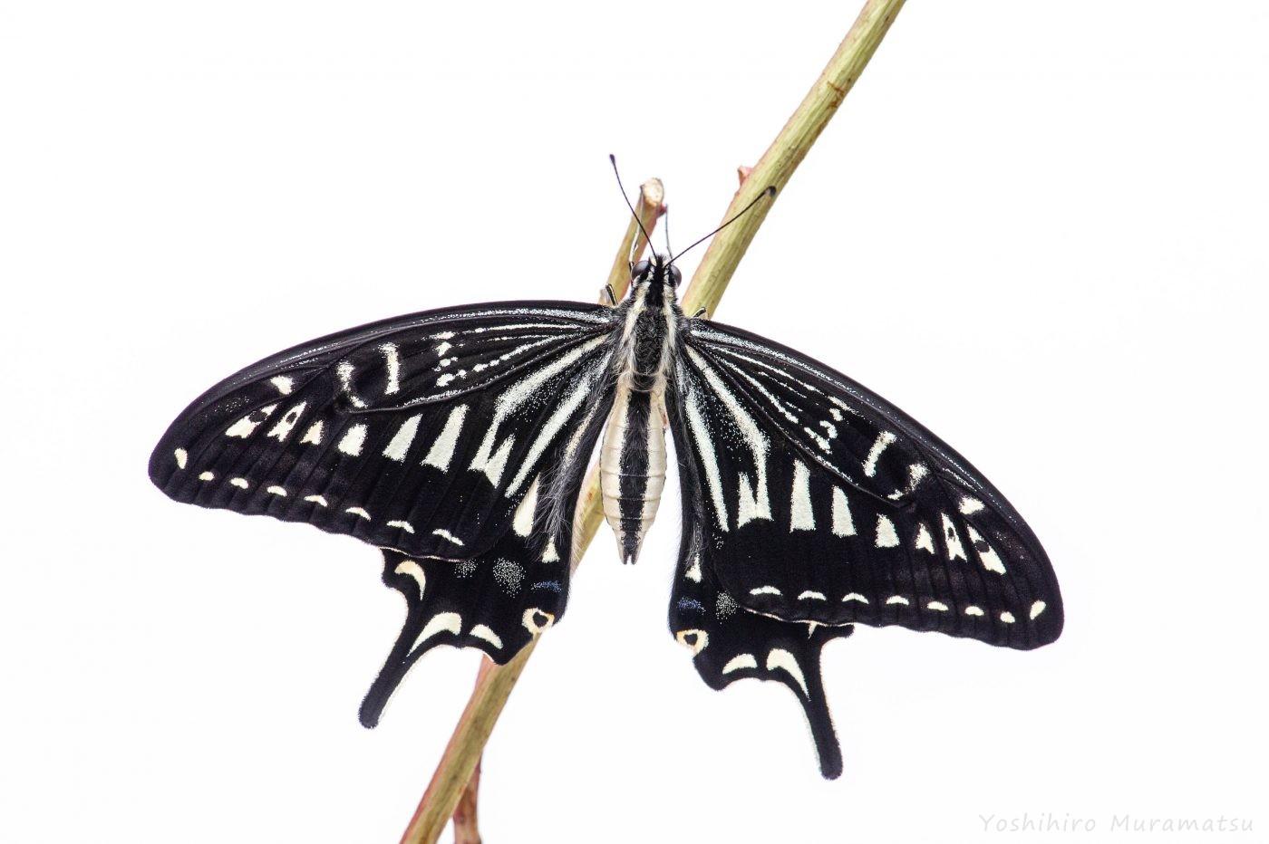 アゲハチョウの羽化
