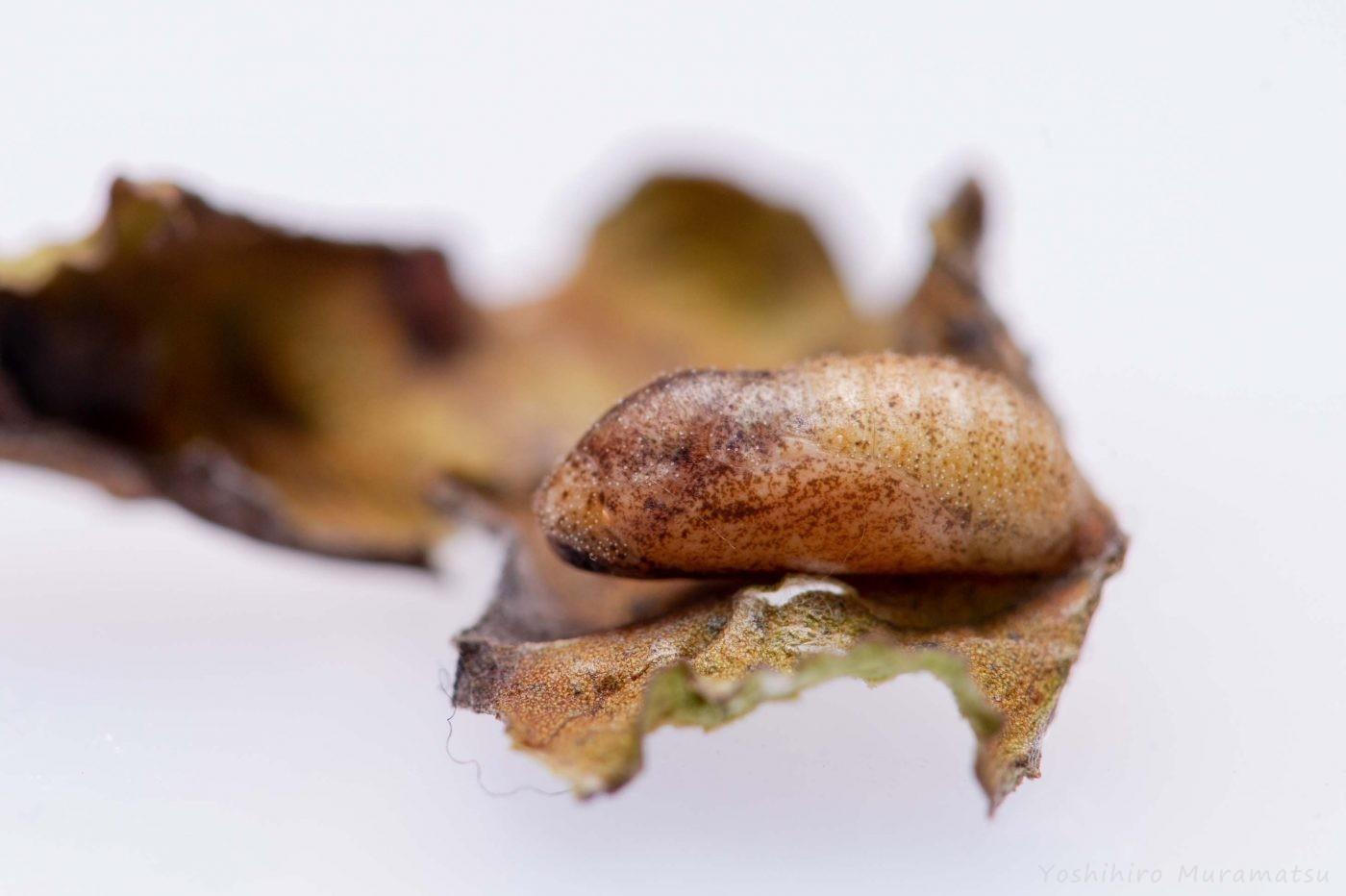 ベニシジミのサナギ