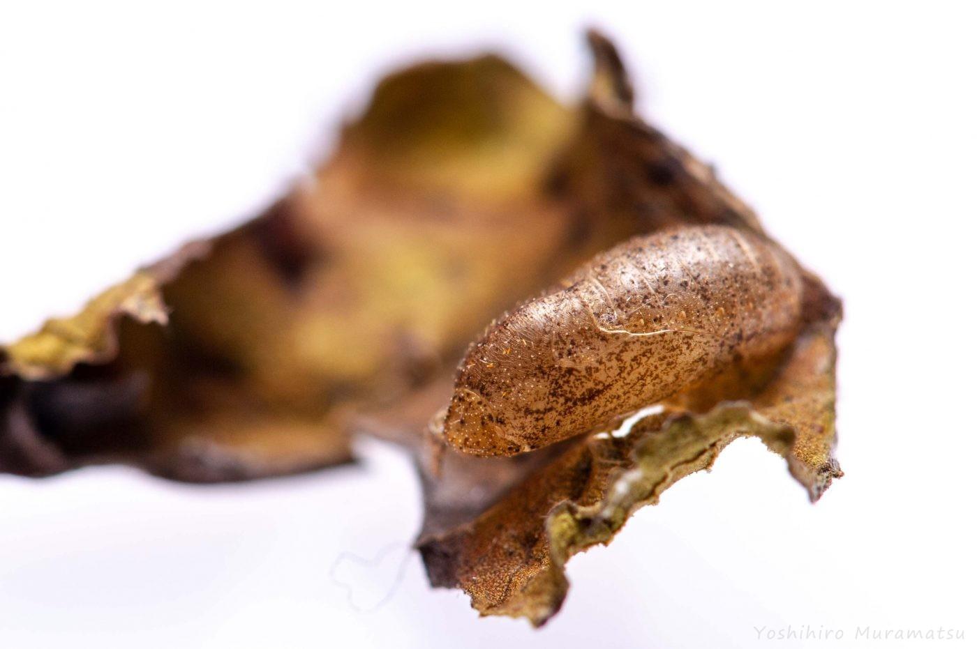 ベニシジミのサナギ殻