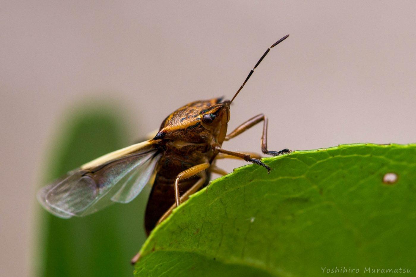 シロヘリクチブトカメムシの写真