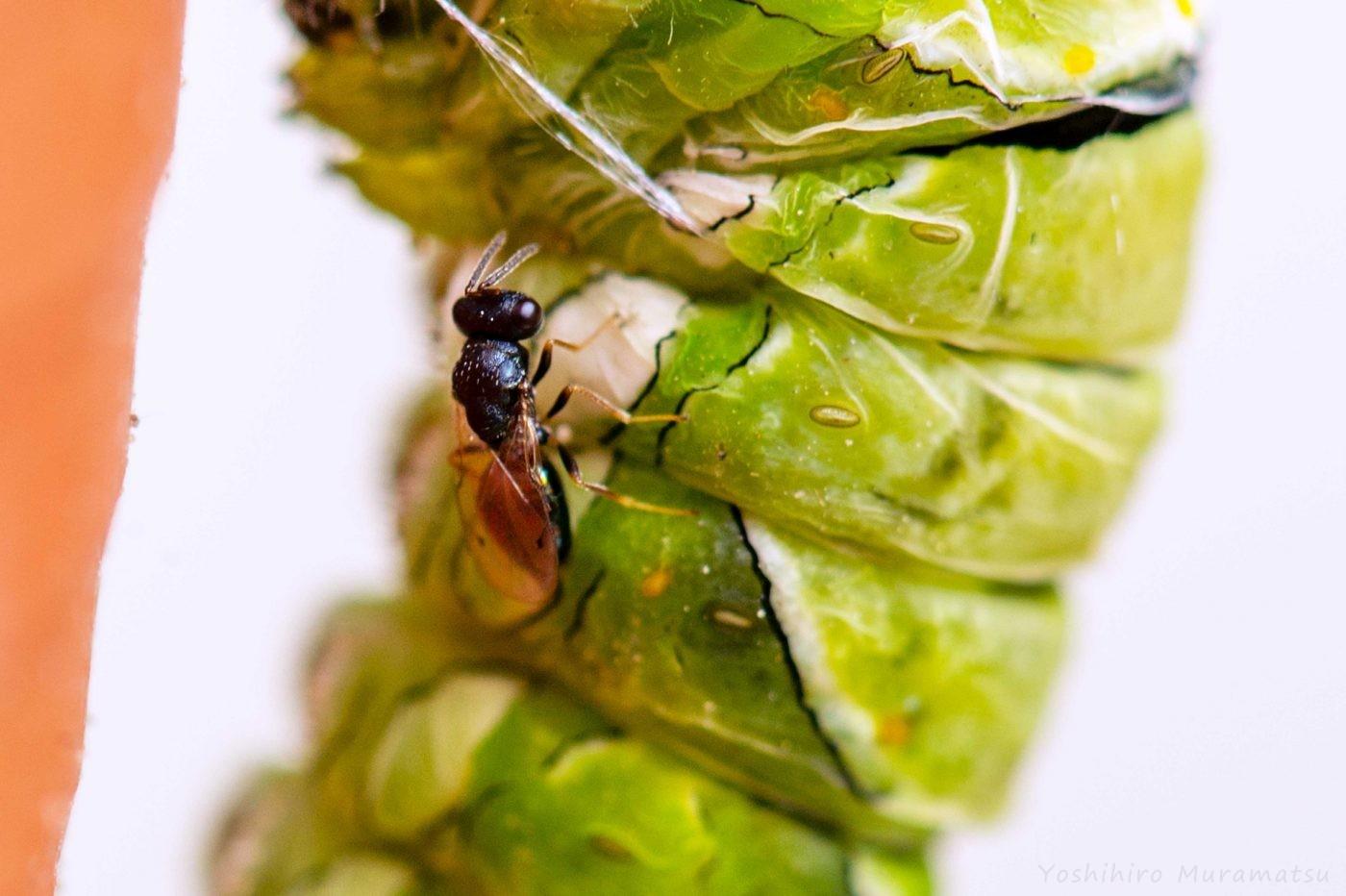 アゲハチョウ 寄生蜂