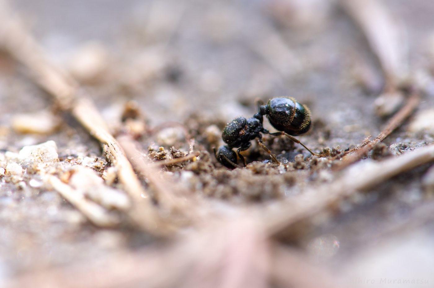 巣を作り始めた女王アリ