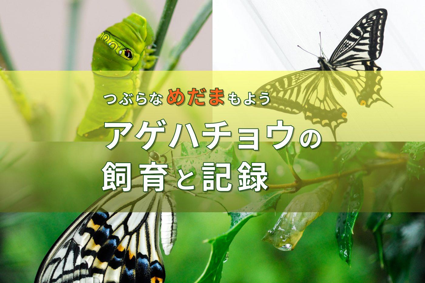 アゲハチョウの飼育