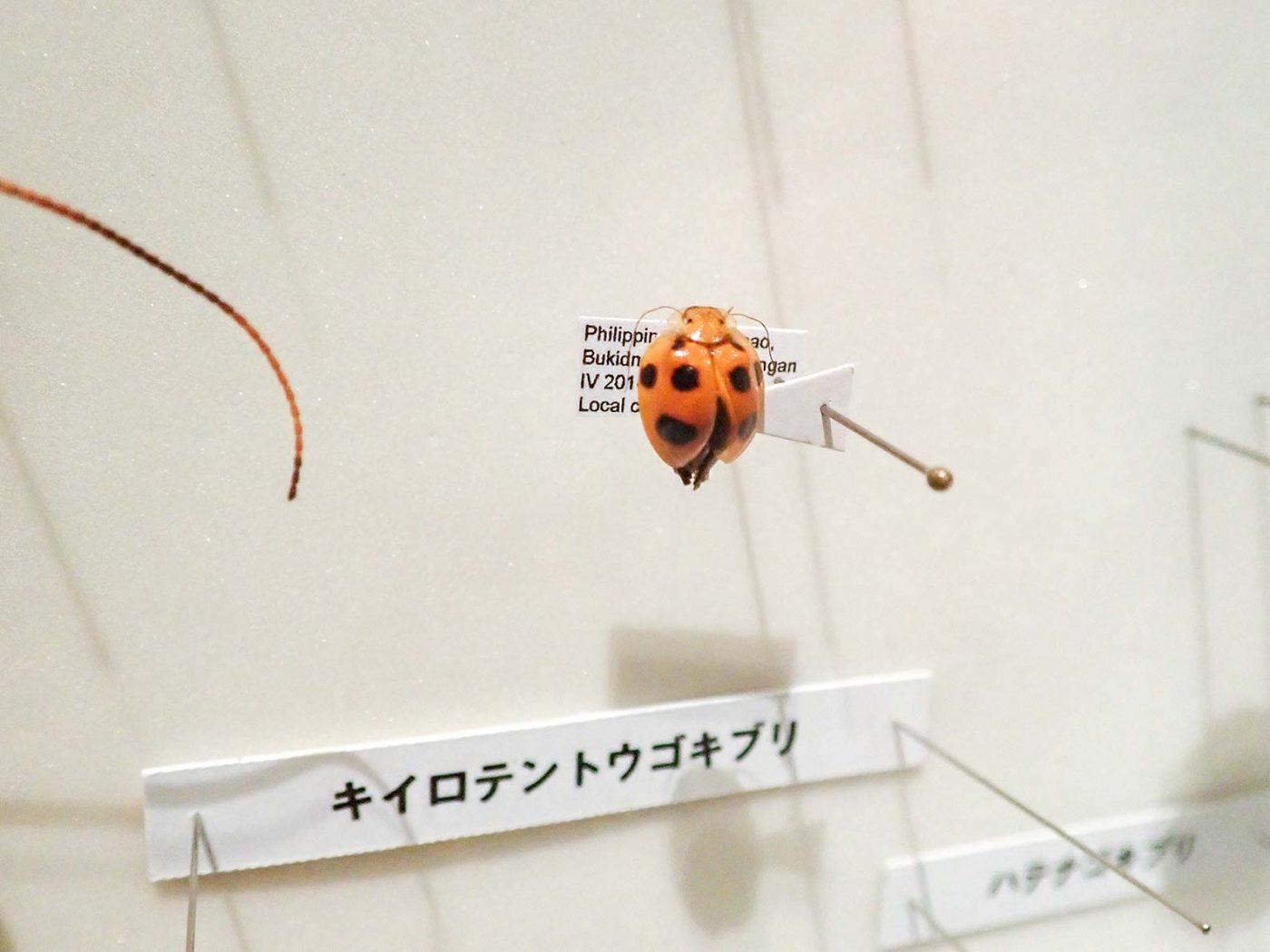 特別展昆虫 初日 キイロテントウゴキブリ