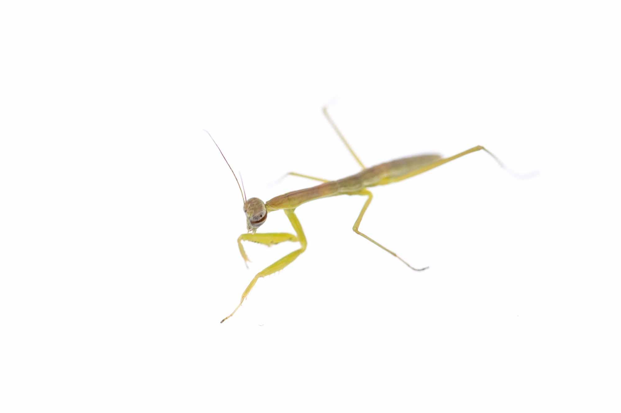 オオカマキリの幼虫の写真