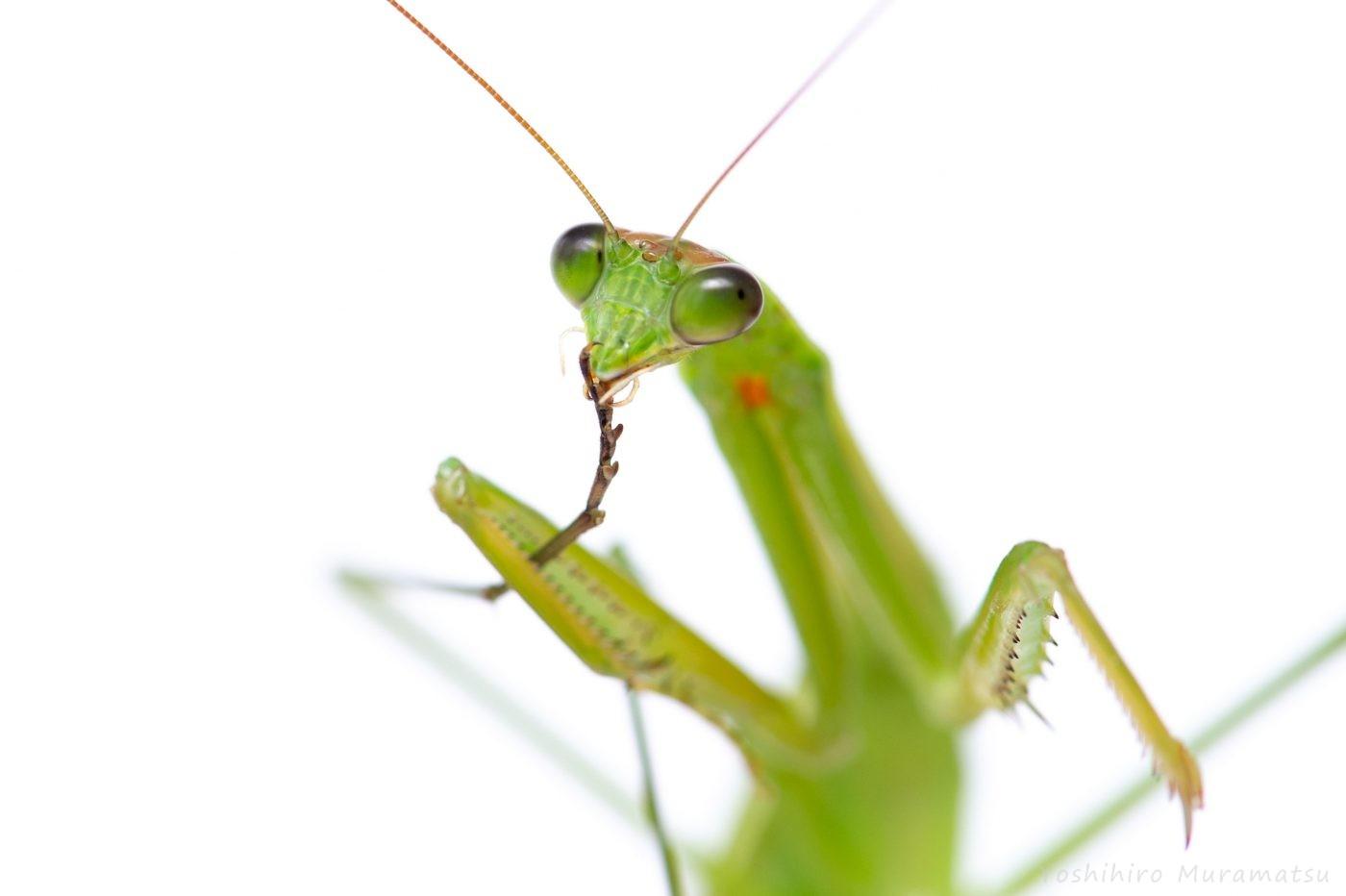 チョウセンカマキリの写真