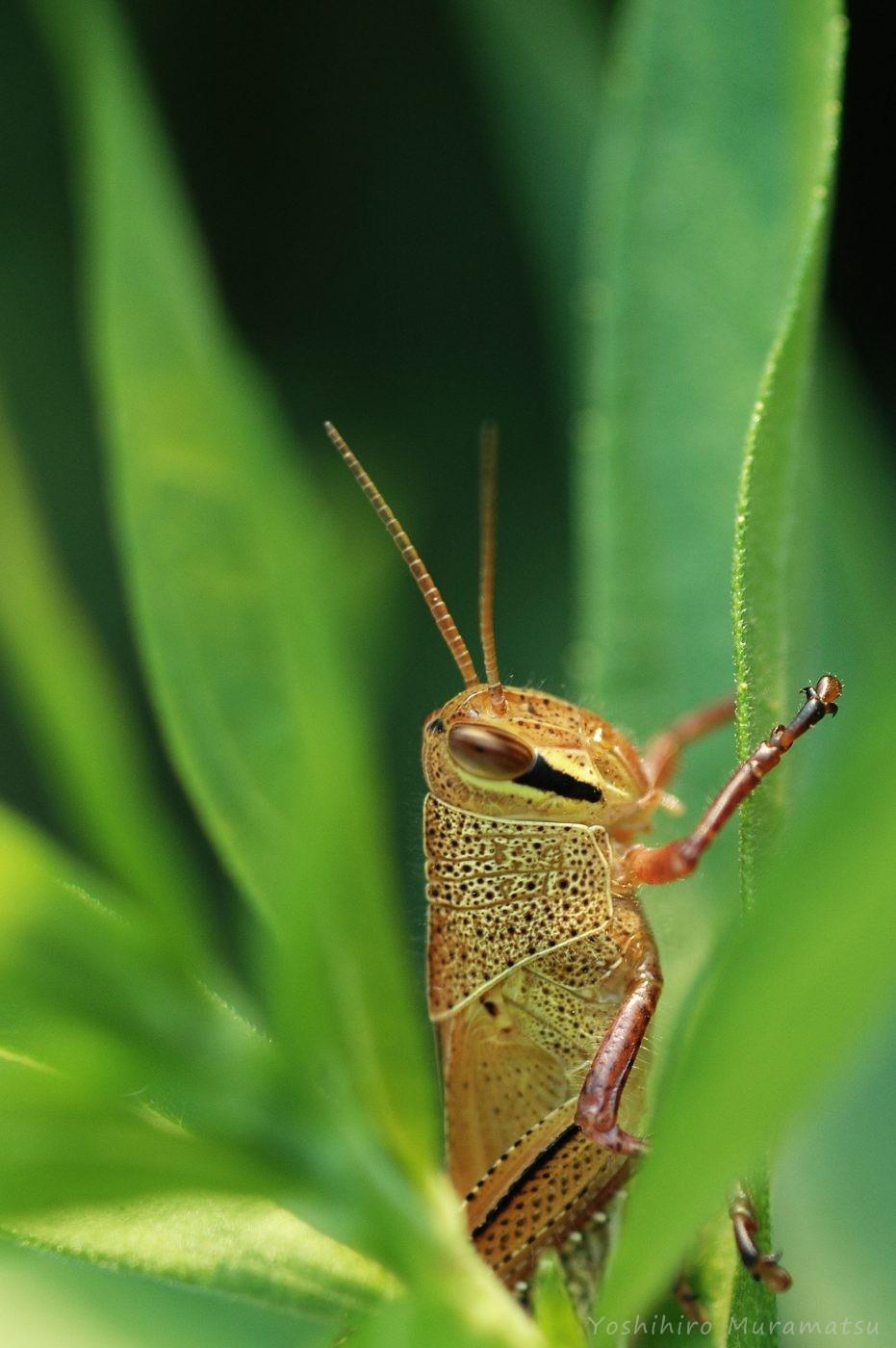 ツチイナゴの幼虫の写真