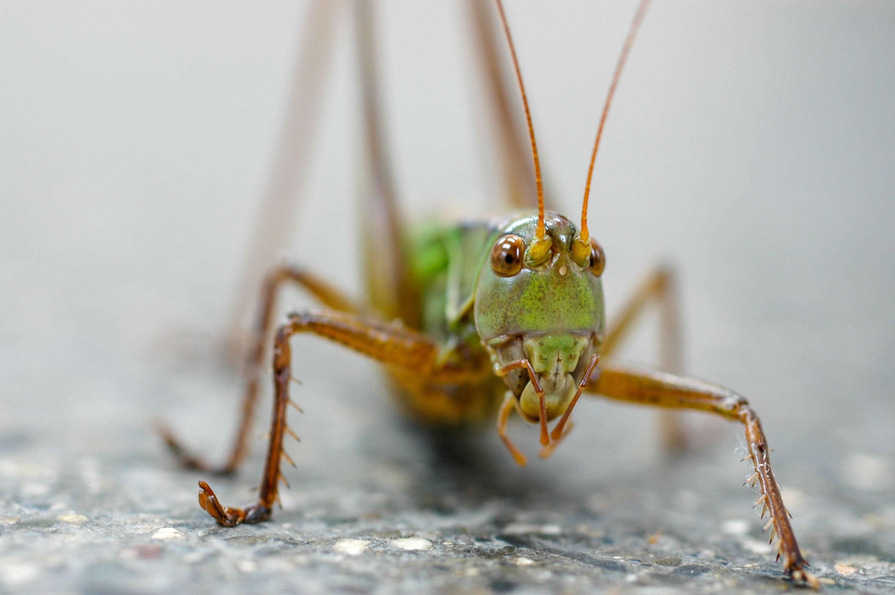 キリギリスの写真
