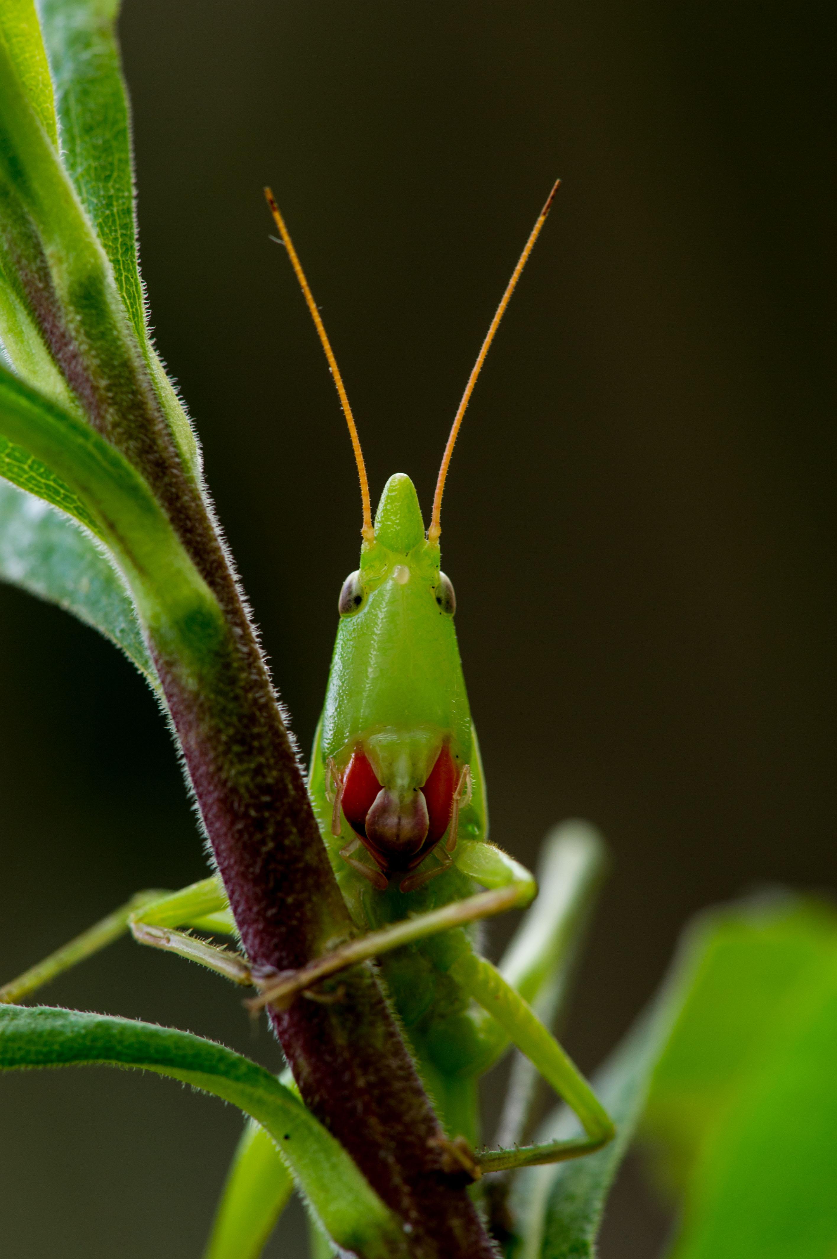 クビキリギスの写真