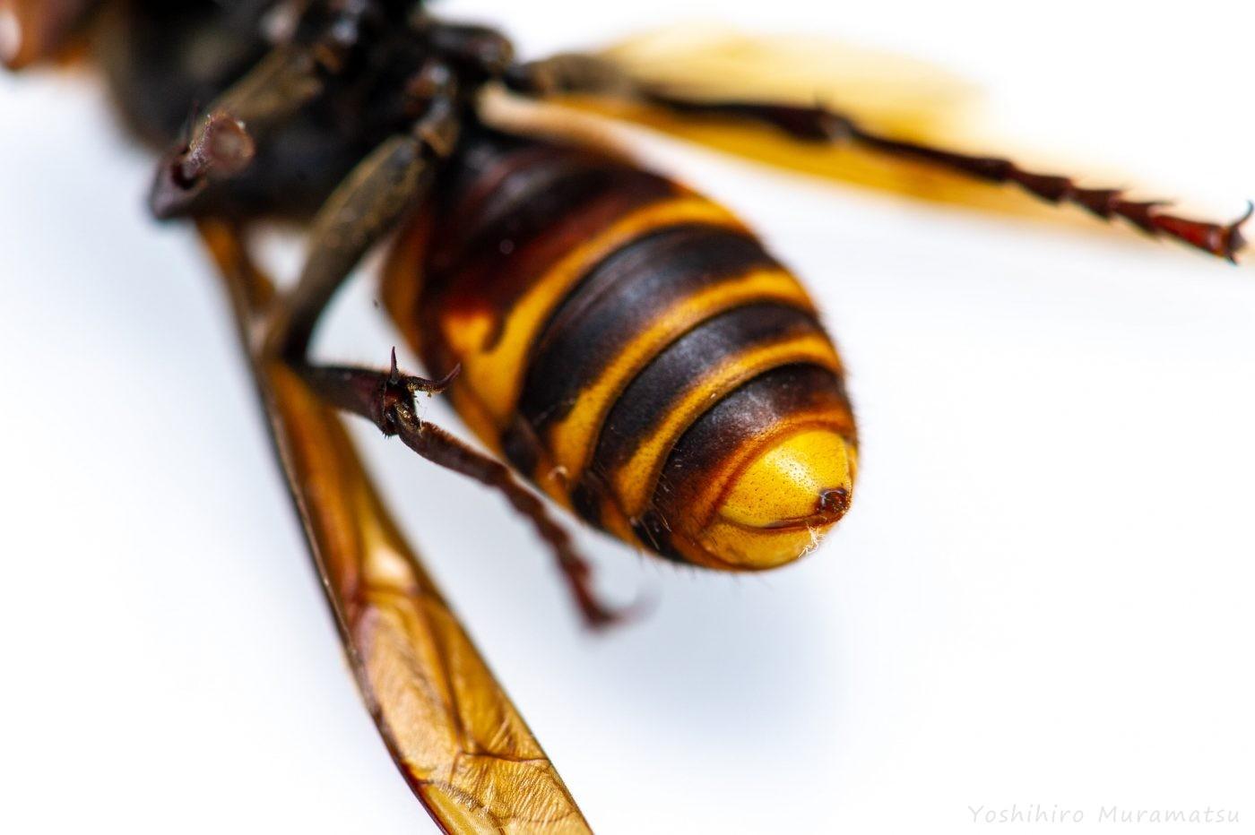 オオスズメバチの写真