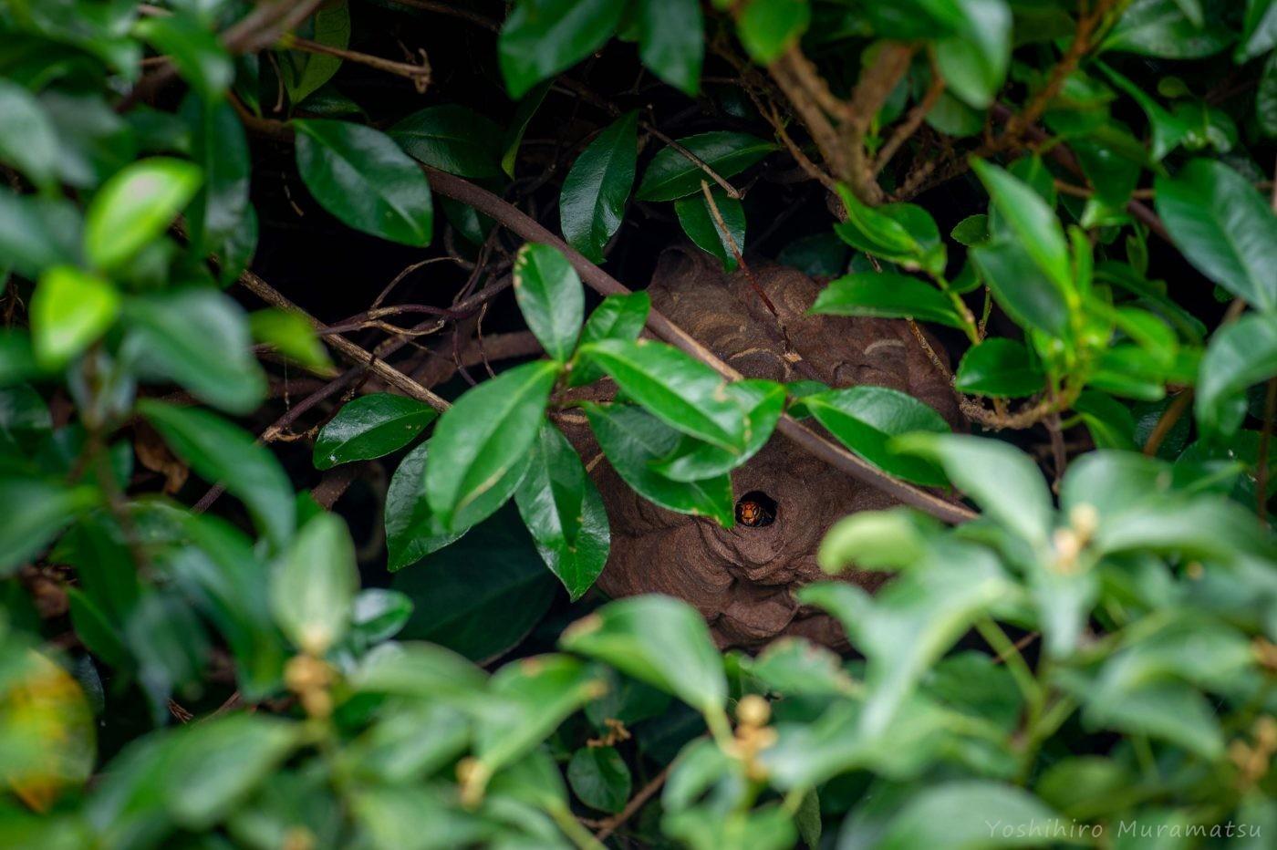 コガタスズメバチの写真