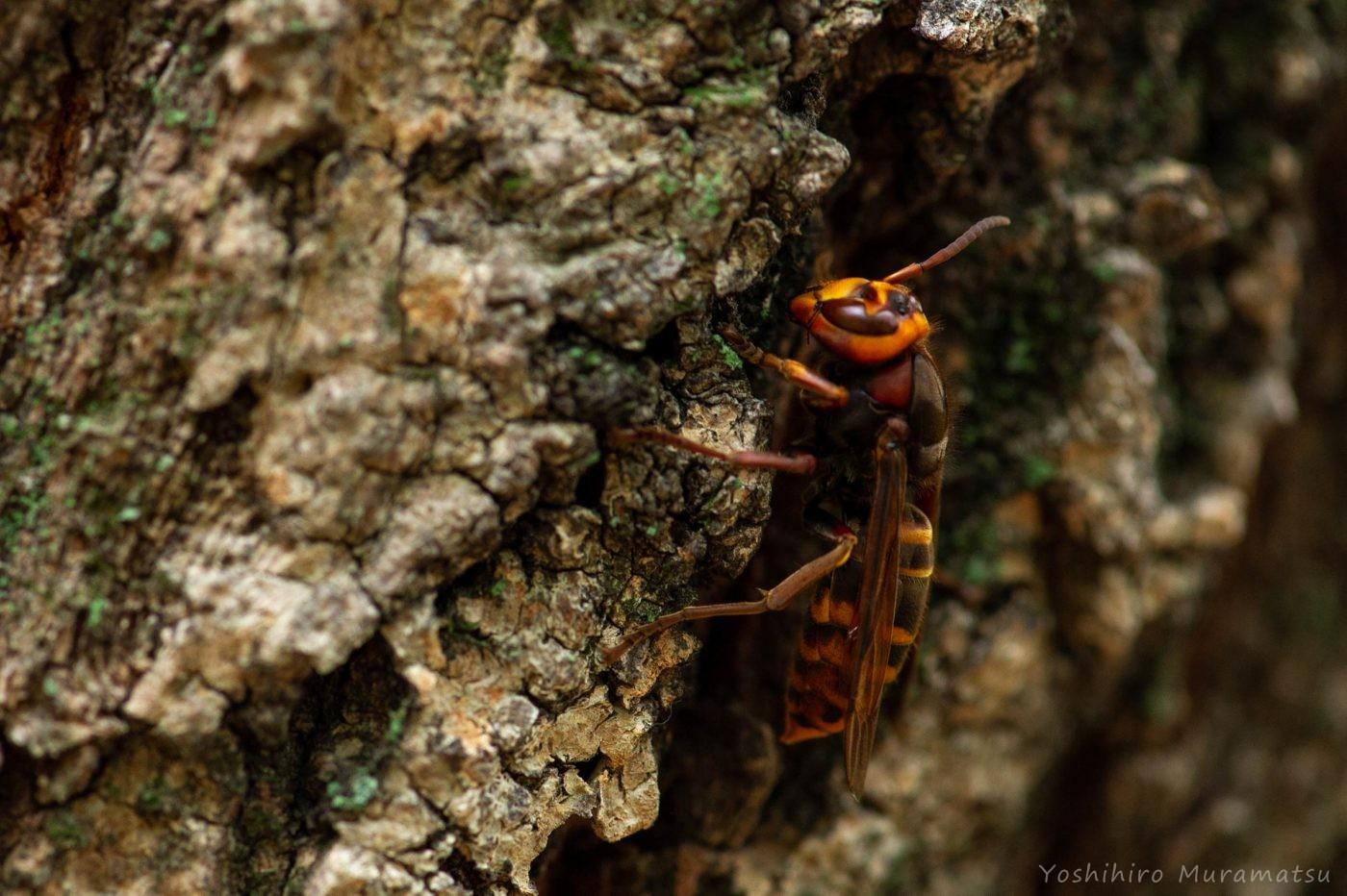 モンスズメバチの写真