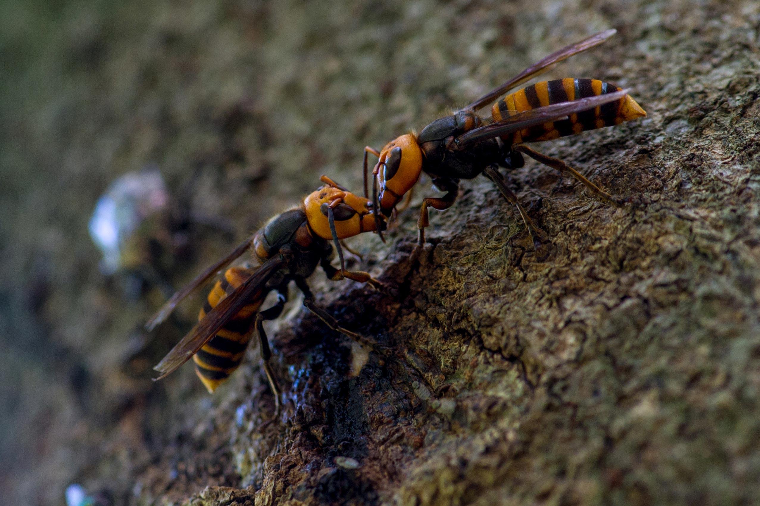 スズメバチ の 天敵