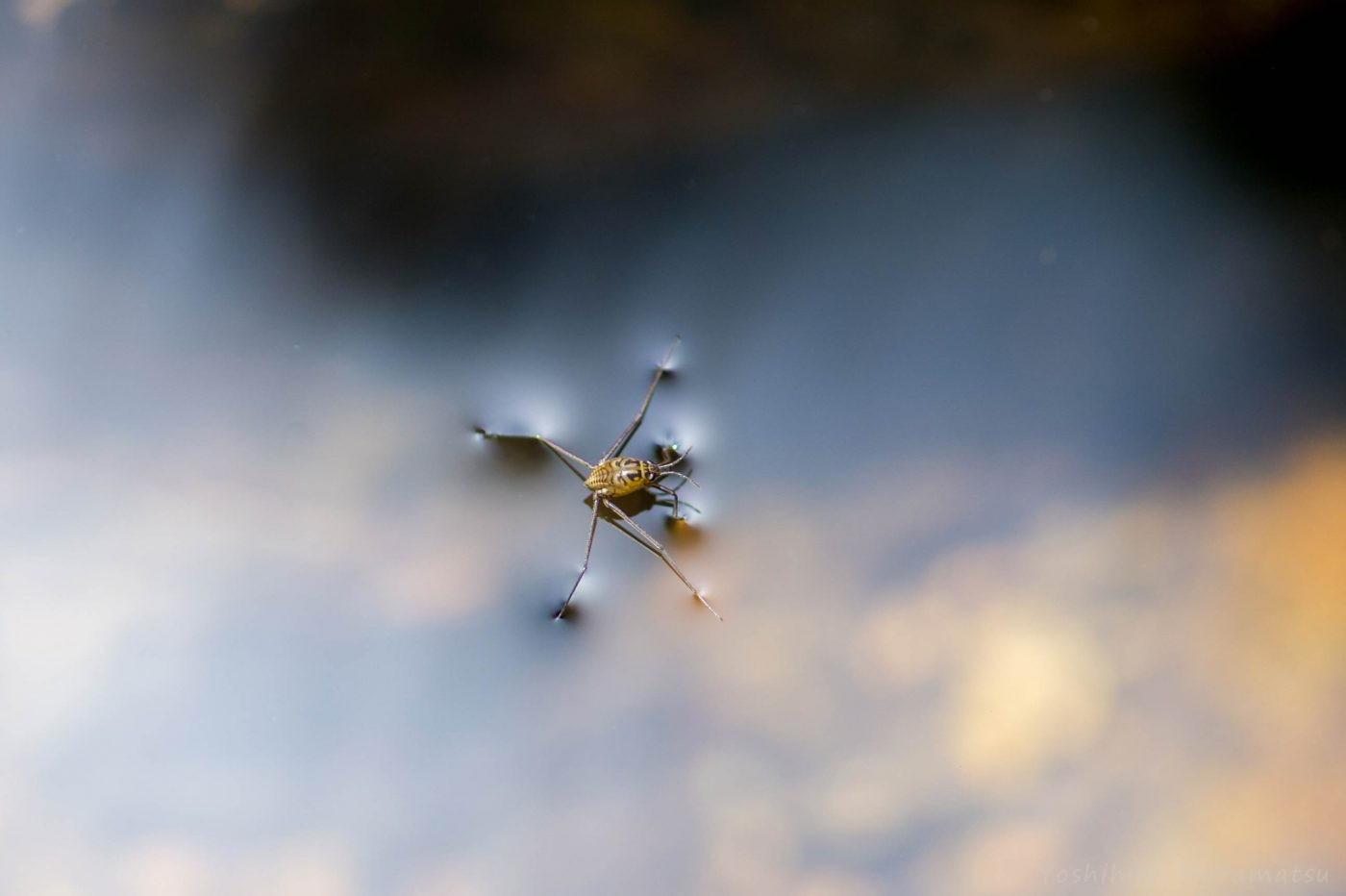 シマアメンボの幼虫の写真