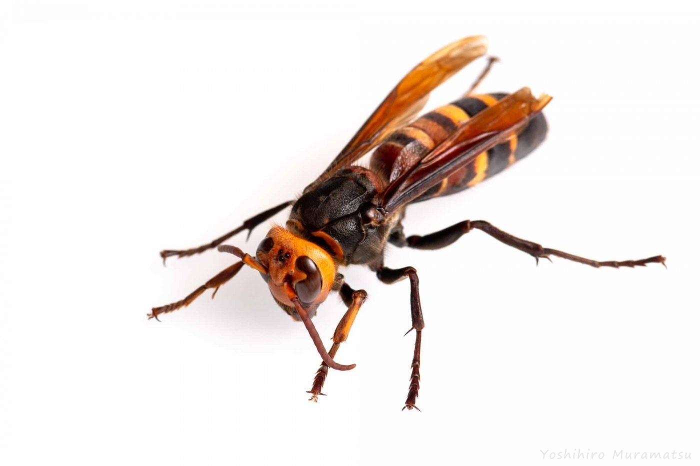 ヒメスズメバチの写真