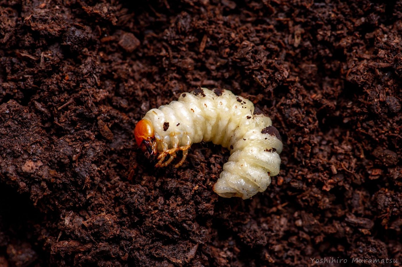 コクワガタの幼虫の写真