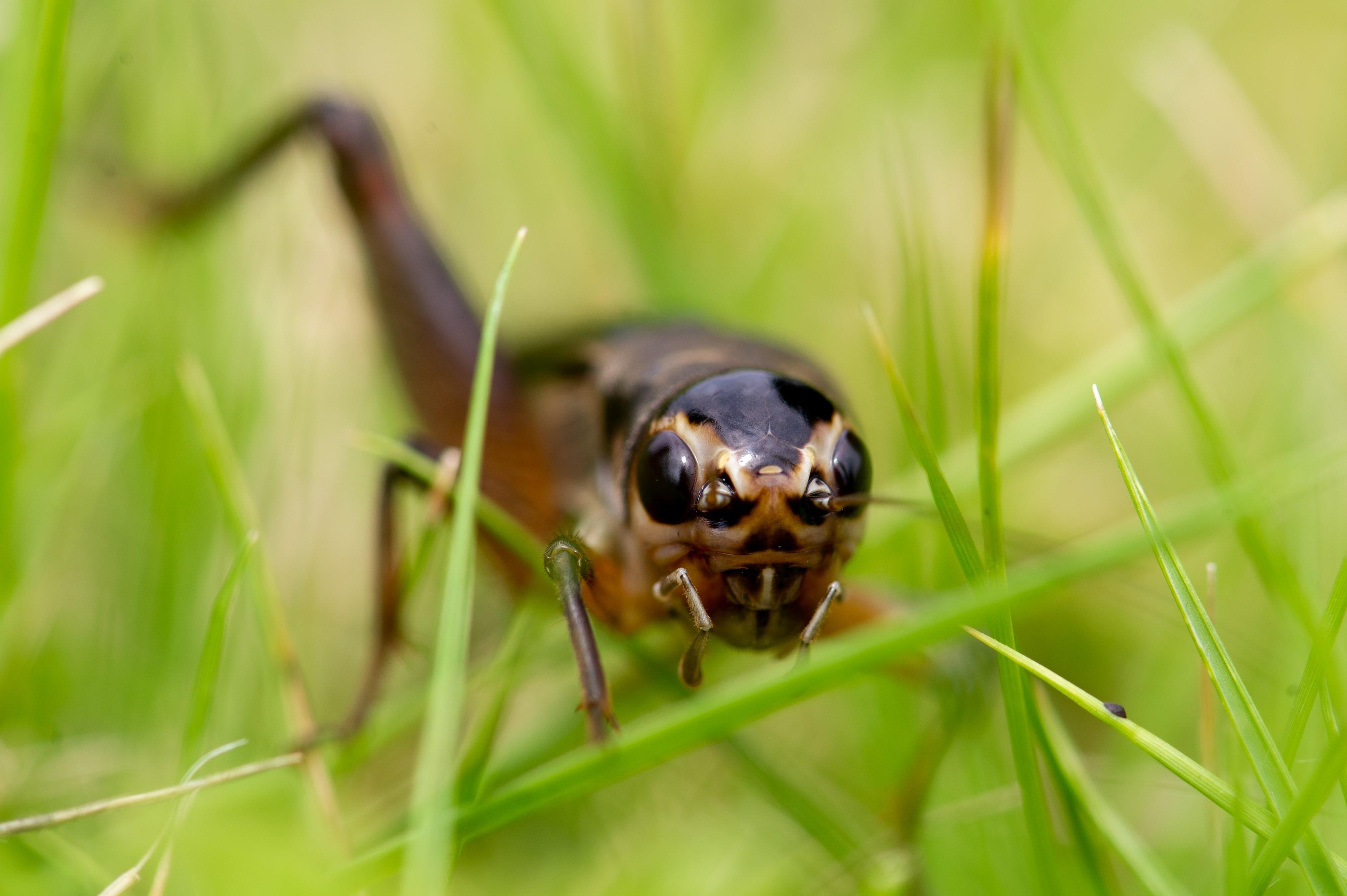 エンマコオロギの写真
