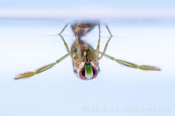 マツモムシの写真