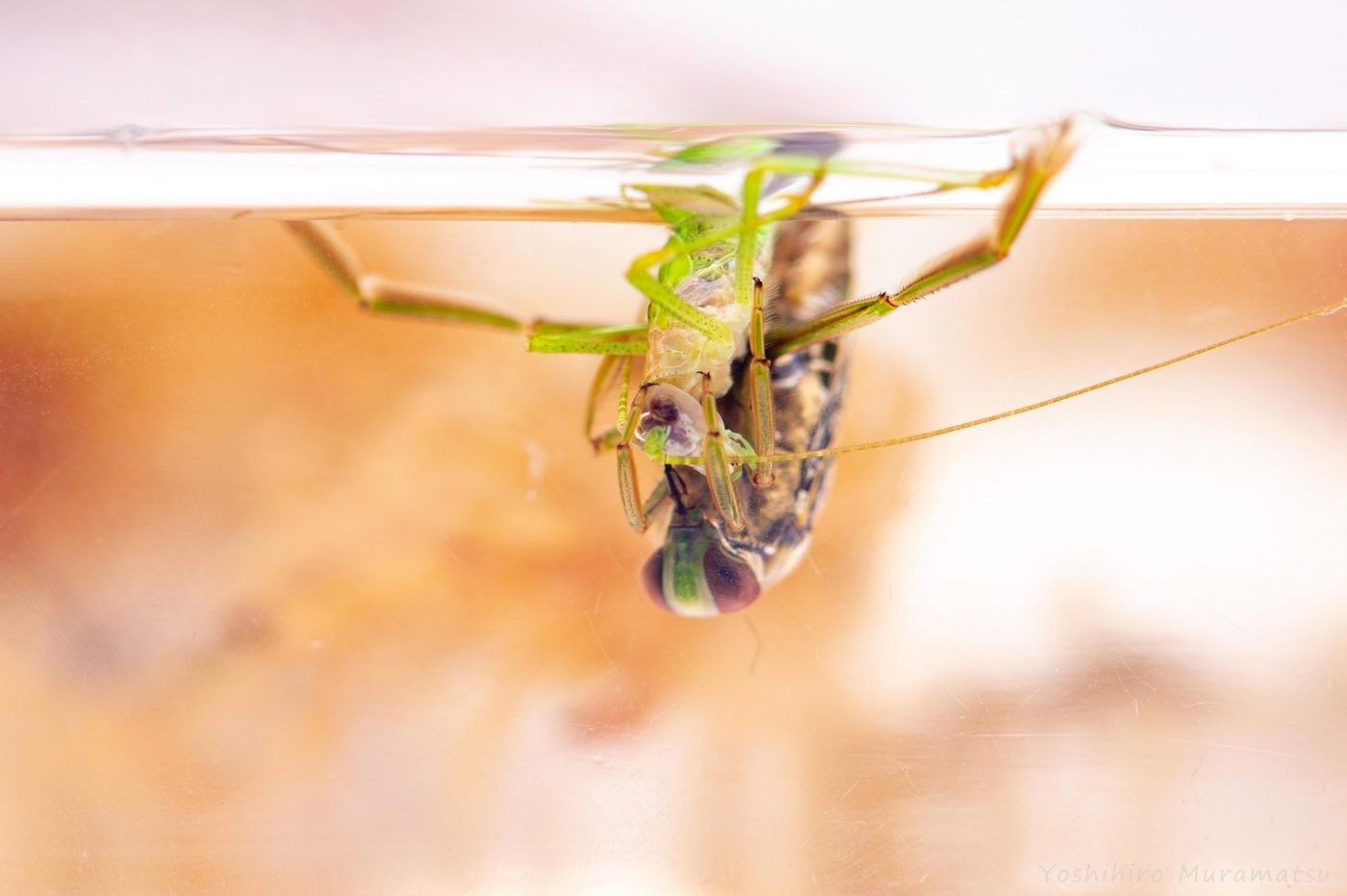 マツモムシの食事の写真