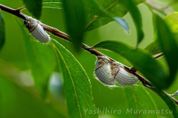 イセリアカイガラムシ(ワタフキカイガラムシ)の写真