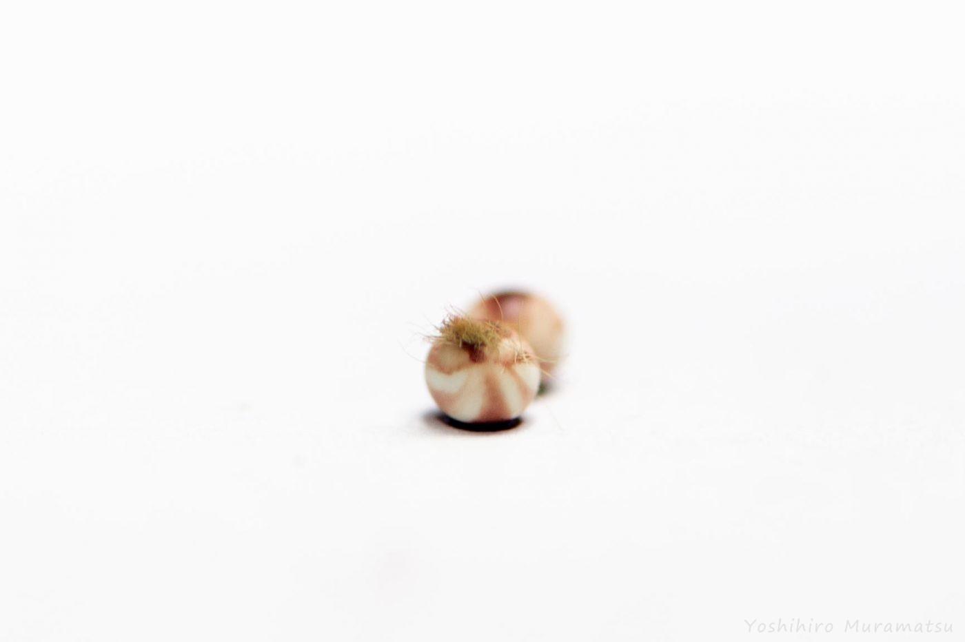 ヨナグニサンの卵の写真