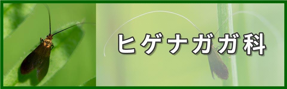 ヒゲナガガ科のバナー