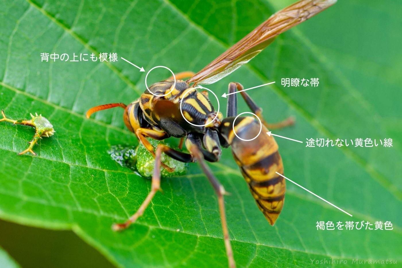 ヤマトアシナガバチの解説