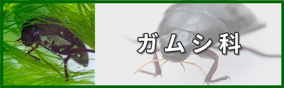 ガムシ科バナー画像