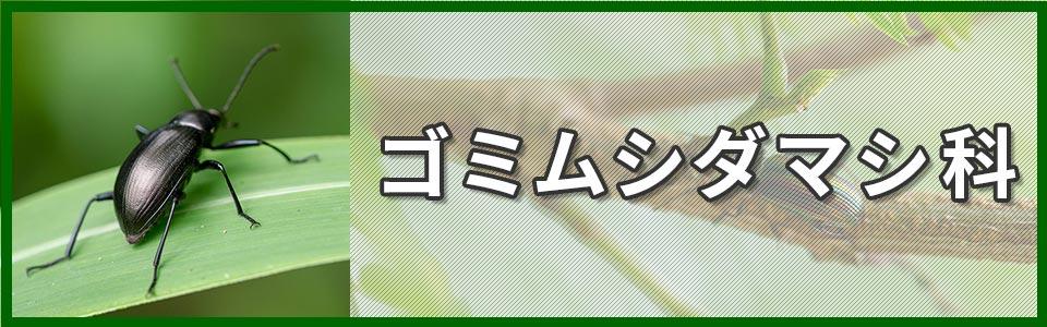 ゴミムシダマシ科のバナー