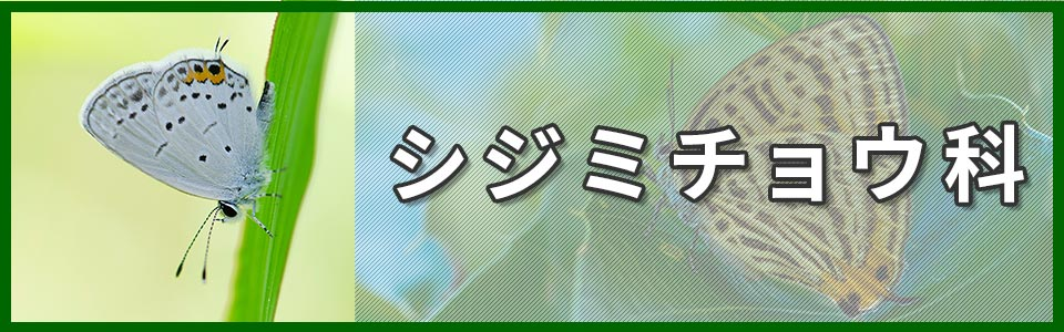 シジミチョウ科のバナー