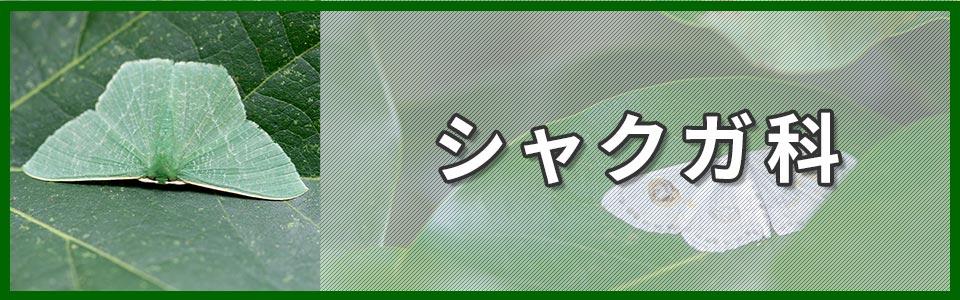 シャクガ科のバナー