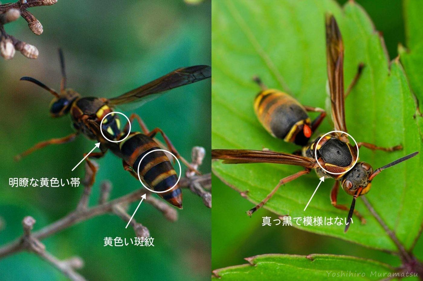 コアシナガバチの解説