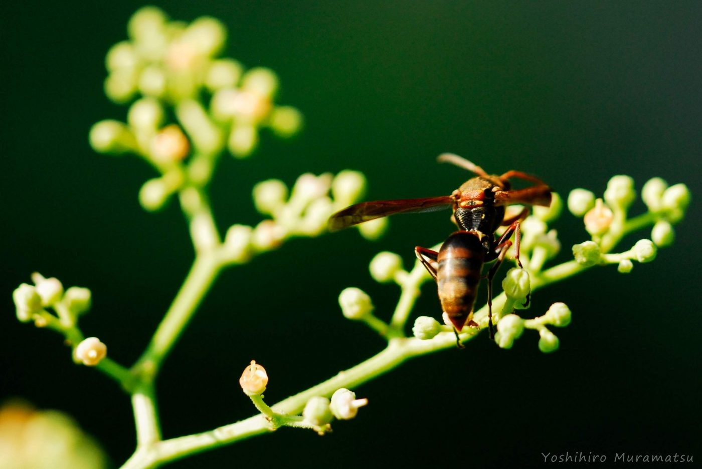キボシアシナガバチの写真