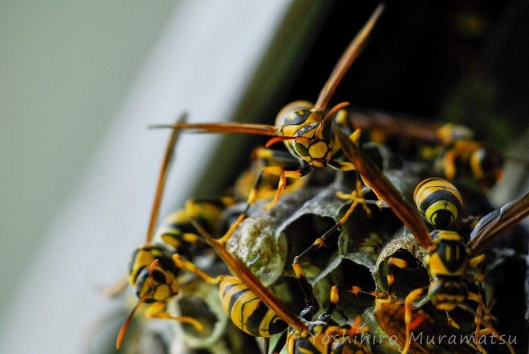 キアシナガバチの写真
