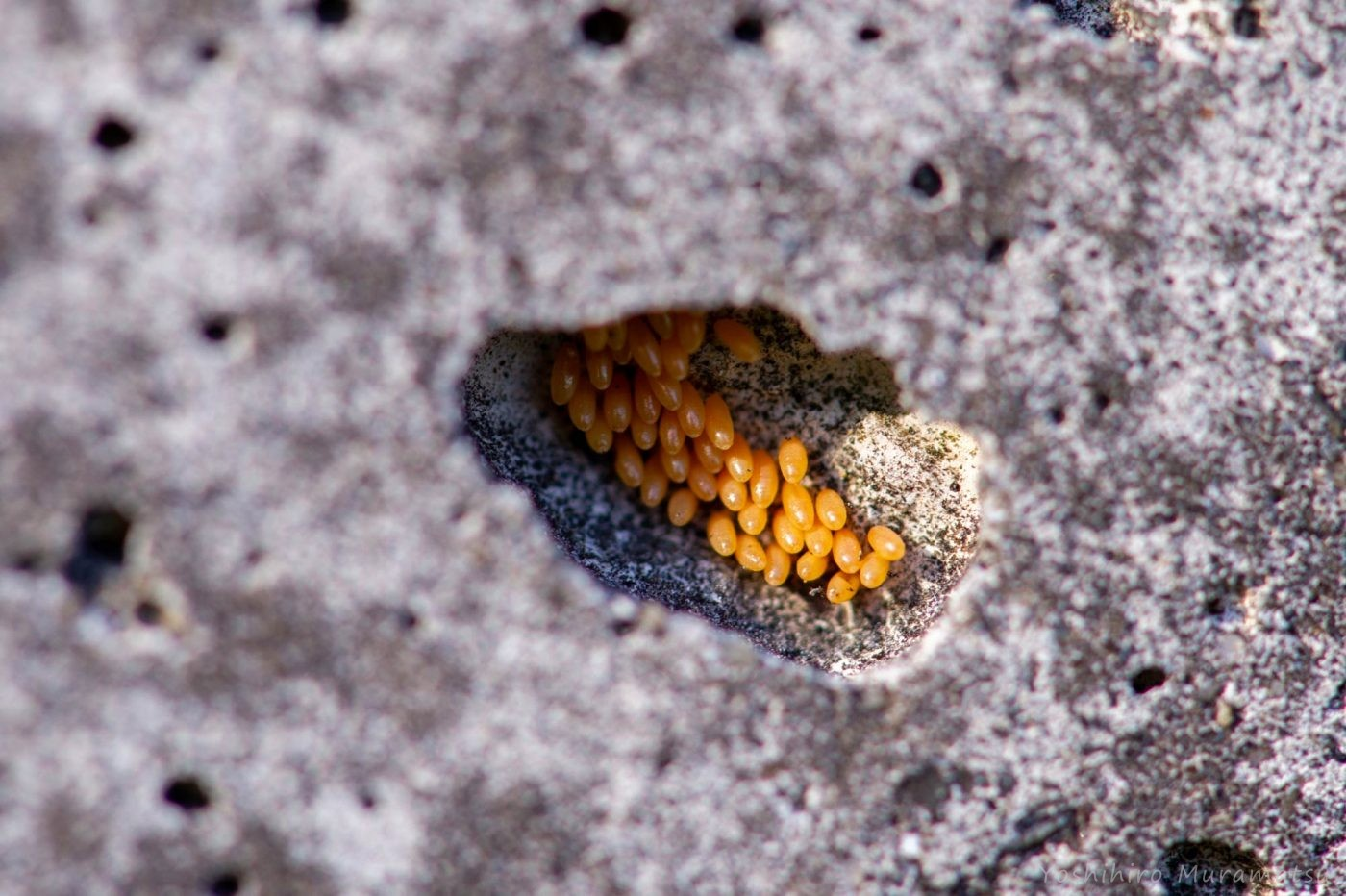 ナナホシテントウの卵の写真