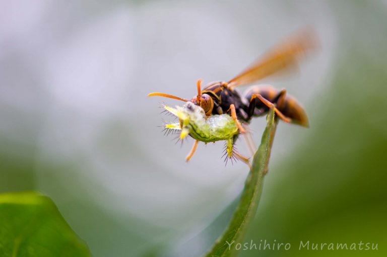 ヤマトアシナガバチの写真