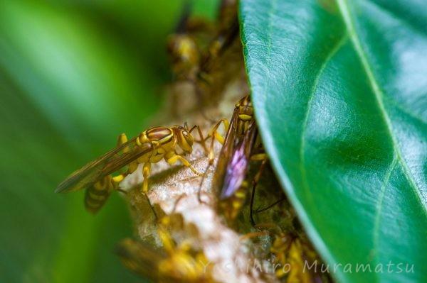 ムモンホソアシナガバチの写真