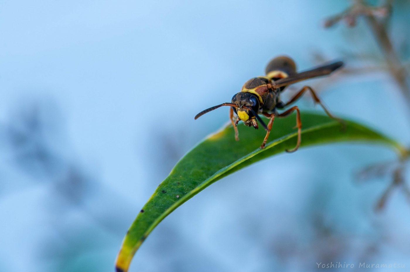 コアシナガバチの写真