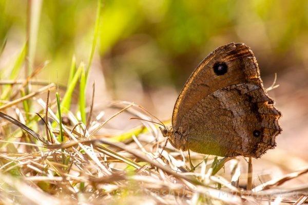 ジャノメチョウの写真
